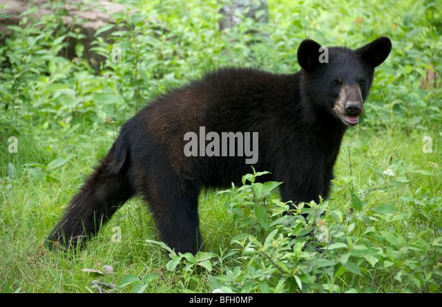 A wild male Black Bear (Ursus americanus) in Sleeping Giant Provincial Park, Ontario, Canada - Stock-Bilder