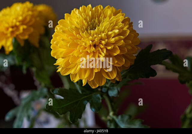 Chrysanthemum Bouquet Stock Photos & Chrysanthemum Bouquet ...