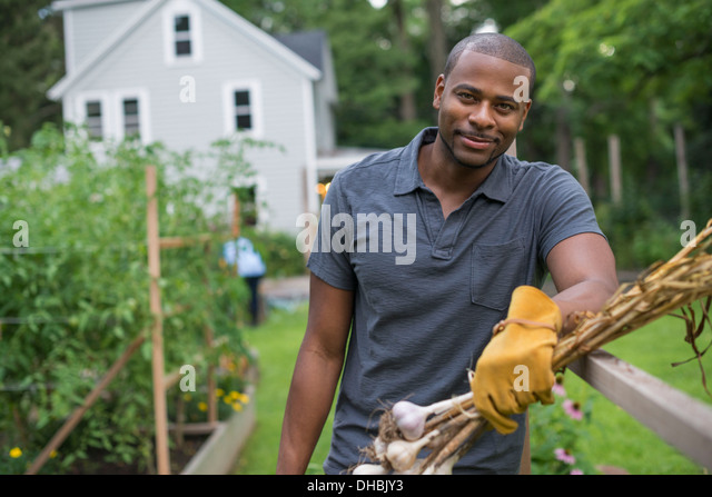A man in gloves harvesting garlic bulbs in the vegetable garden. - Stock Image