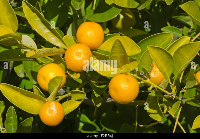 Kumquat plant stock photos kumquat plant stock images for Plante kumquat