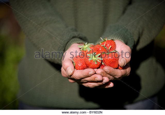 A man holding a handful of strawberries, close-up - Stock Image