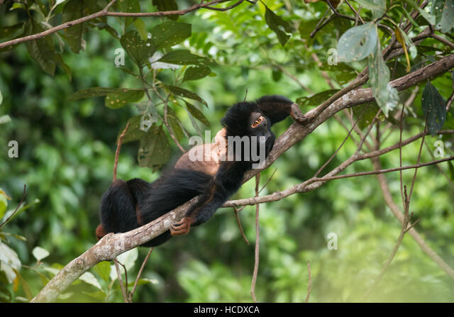 A vulnerable Red-handed Howler Monkey from the Amazon Rainforest - Stock Image