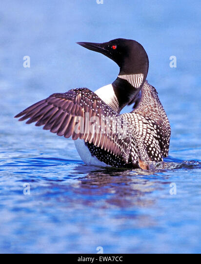 Common Loon or Great Northern Diver wings spread - Stock Image