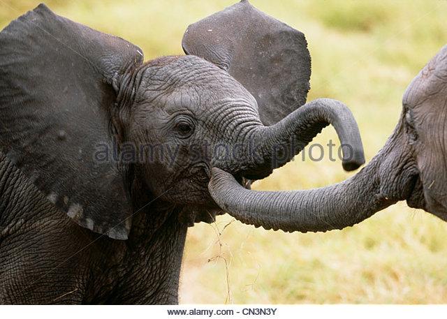 African Elephant calves, Amboseli National Park, Kenya - Stock-Bilder