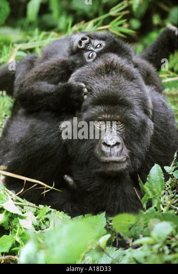 Mountain gorilla mother and baby Mgahinga National Park Uganda - Stock Image
