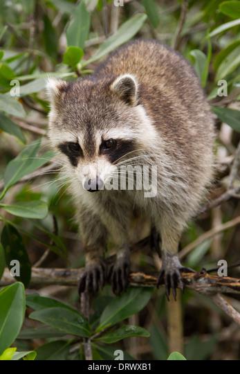 Northern Raccoon (Procyon lotor) - Stock Image