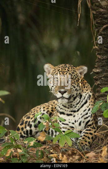 Jaguar along river, Pantanal, Brazil, South America (Panthera onca) - Stock-Bilder