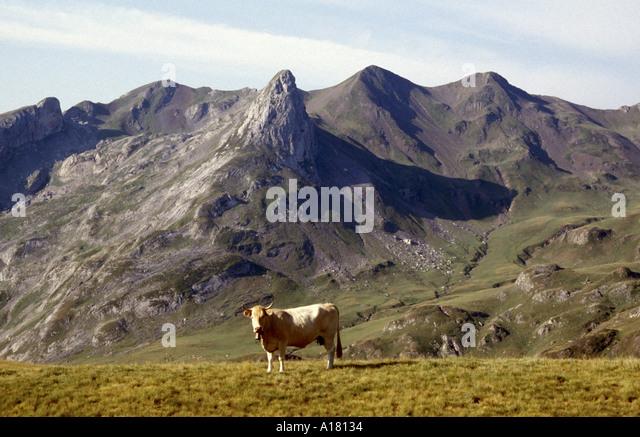 Cow at the Col du Soum de Pombie, Pyrenees, France - Stock Image