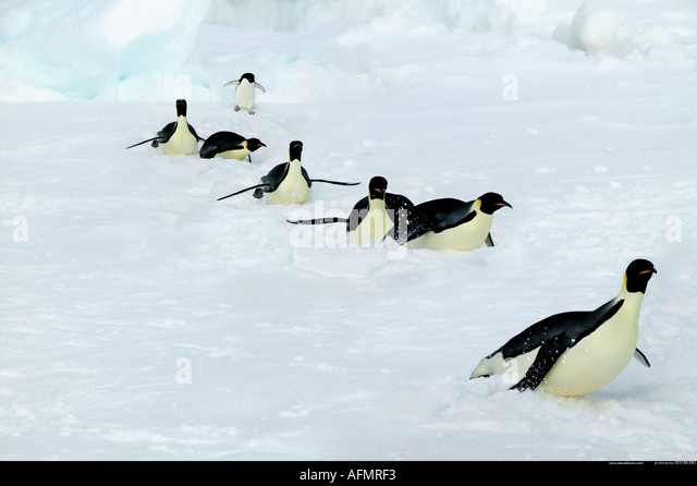 Adult Emperor penguins on a long trek Coulman Island Antarctica - Stock Image