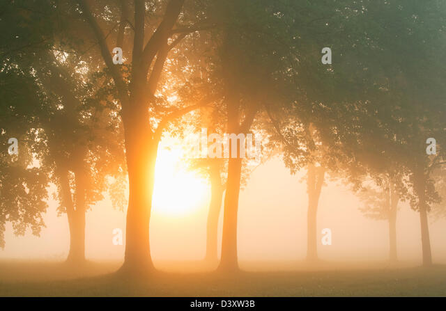 trees at sunrise with morning mist - Stock Image