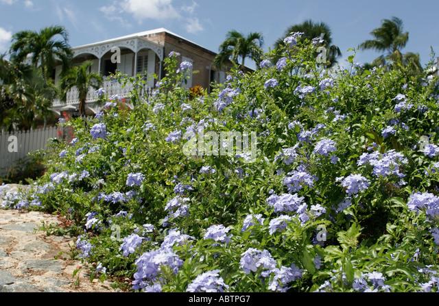 St. Thomas USVI Charlotte Amalie Blackbeard's Hill lavender Plumbago flower Haagensen House Museum built 1827 - Stock Image