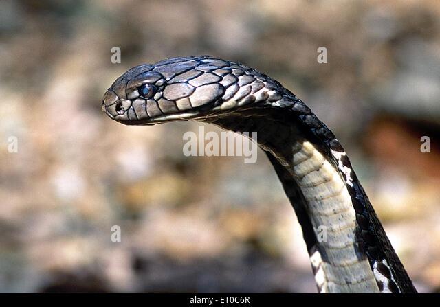 Reptiles ; King cobra ophiophagus hannah longest venomous snake eater ; Karnataka ; India - Stock-Bilder