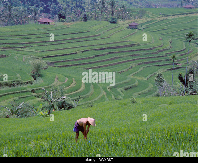 Bali Asia rice fields terrace fields workers Jatuluih rice terraces agriculture fields Indonesia - Stock-Bilder