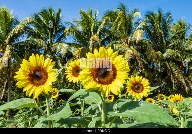 Homestead Florida Redland Robert Is Here farm stand agriculture sunflowers - Stock Image