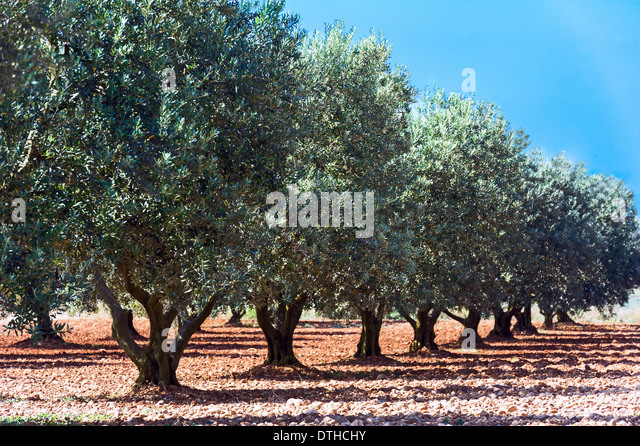 Europe, France, Alpes-de-Haute-Provence, 04, Regional Natural Park of Verdon, Valensole. Field of olive tree. - Stock-Bilder