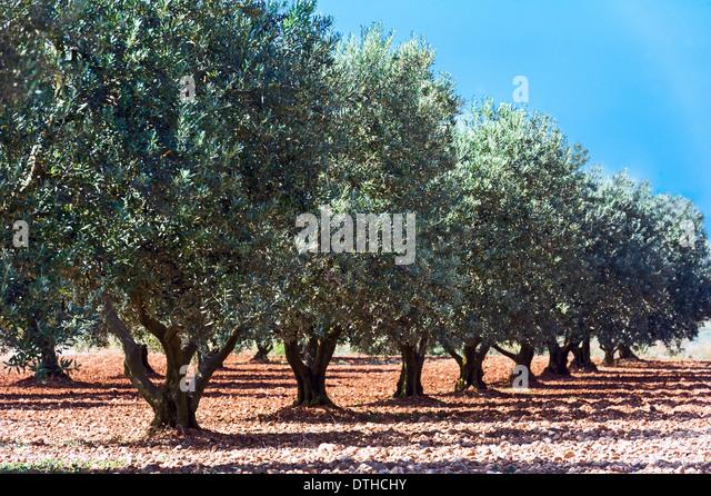 Europe, France, Alpes-de-Haute-Provence, 04, Regional Natural Park of Verdon, Valensole. Field of olive tree. - Stock-Bilder