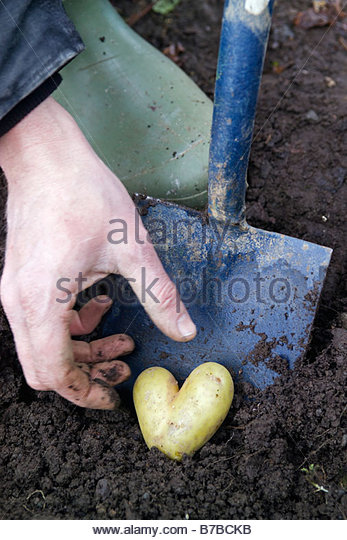 Gardener reaching for a heart shaped potato newly dug from the earth with a spade - Stock Image