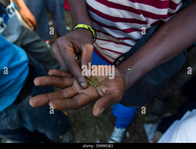 A man who lives in the Albert Park area sort dagga (marijuana) to make a joint, Durban 11 February 2014. © - Stock Image