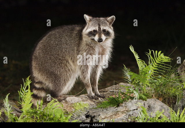 Northern Raccoon Procyon lotor adult at spring fed pond with fern Uvalde County Hill Country Texas USA April 2006 - Stock Image