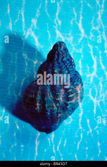 Blue seashell still-life - Stock Image