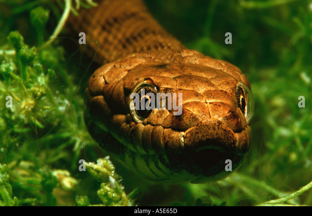 close up of a snake under water, natrix tessellata - Stock Image