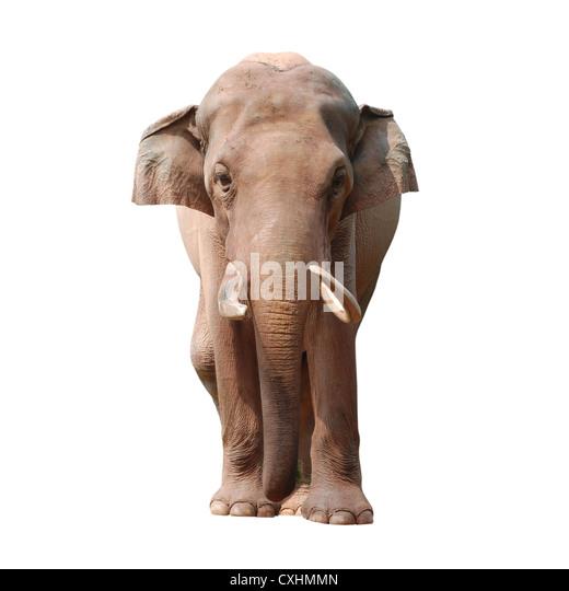 animal elephant - Stock Image