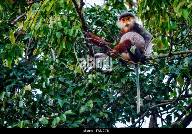 Red-shanked douc feeding in the canopy at Son Tra nature reserve in Vietnam - Stock-Bilder