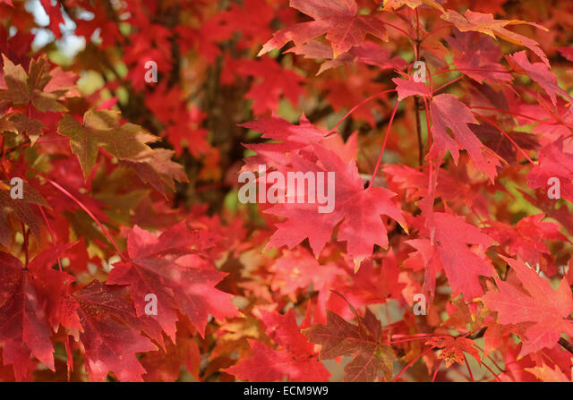 Close up view of red 'October Glory', acer rubrum, maple leaves during the Fall. - Stock Image