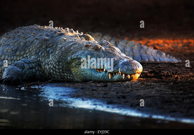 Nile crocodile (crocodylus niloticus) on riverbank with last light of day -Kruger National Park (South Africa) - Stock Image
