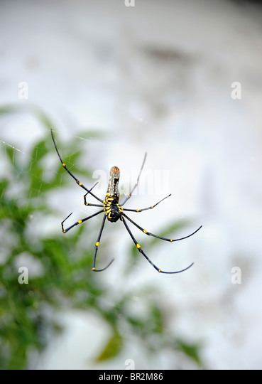 Spider hanging in a web, Kerala, India - Stock-Bilder