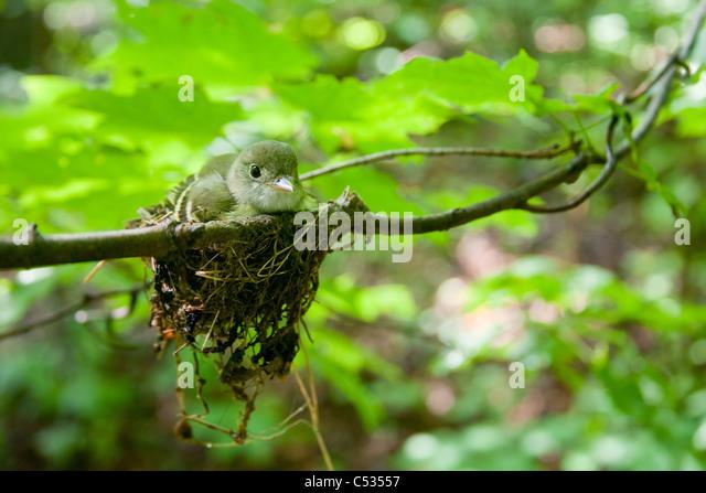 Acadian Flycatcher and Nest - Stock-Bilder