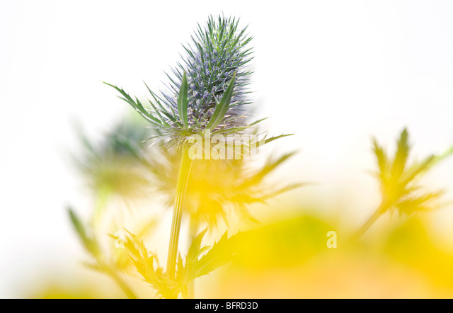 thistle flowers - Stock Image