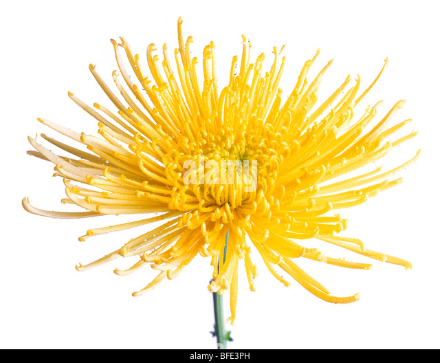 Yellow Chrysanthemum fuji flower with water droplets - Stock Image