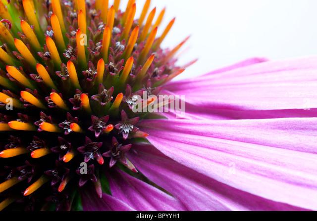 Close up of Echinacea flower head - Stock Image