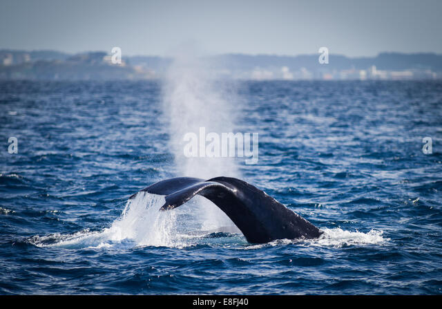 Whale diving in ocean, Okinawa, Japan - Stock Image