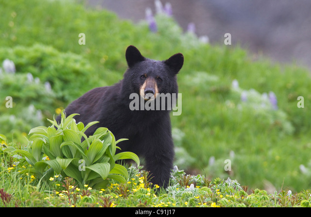Black bear standing in alpine vegetation, Harding Icefield Trail, Kenai Fjords National Park, near Seward, Southcentral - Stock Image