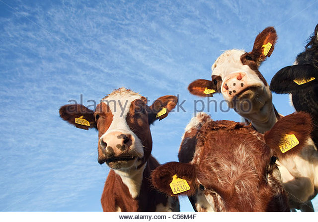The Netherlands, Nederhorst den Berg. Cows. - Stock Image