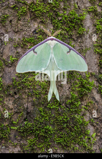 luna-moth-male-on-water-tupelo-trunk-con