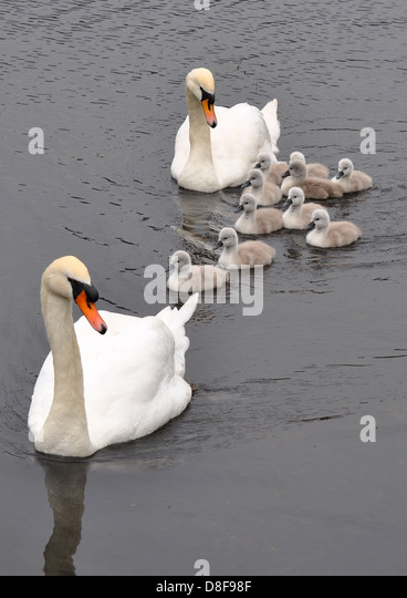 cygnet single parents Download cygnet stock photos affordable and search from millions of royalty free images, photos and vectors thousands of images added daily.