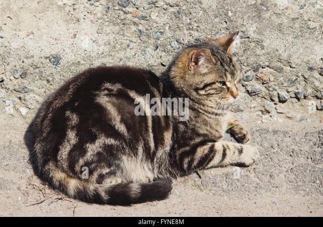 Lazy gray striped cat is sleeping outdoors - Stock Image