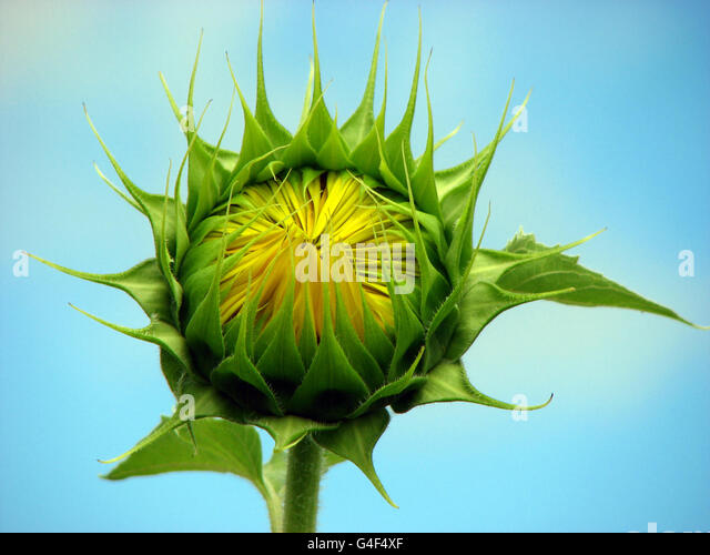 Sunflower Bud - Stock Image