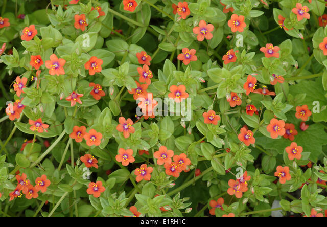 Red Pimpernel Stock Photos & Red Pimpernel Stock Images ...