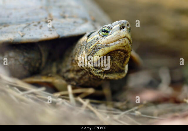 The critically endangered Annam leaf turtle (Mauremys annamensis) in captivity at the Turtle Conservation Center - Stock-Bilder