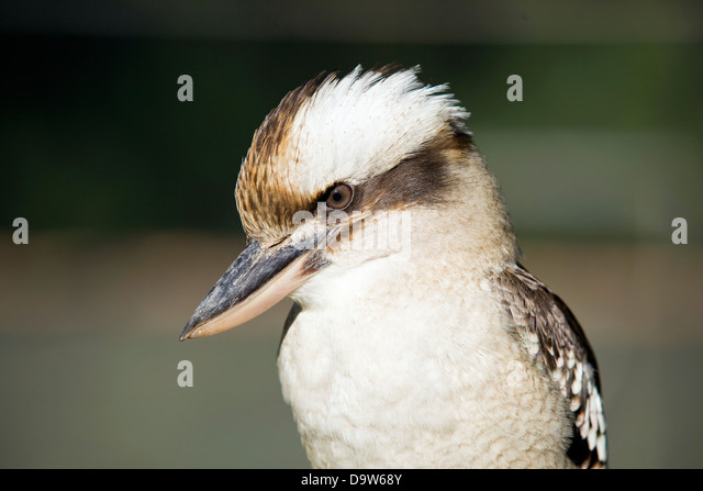 Australian native kookaburra bird. - Stock-Bilder
