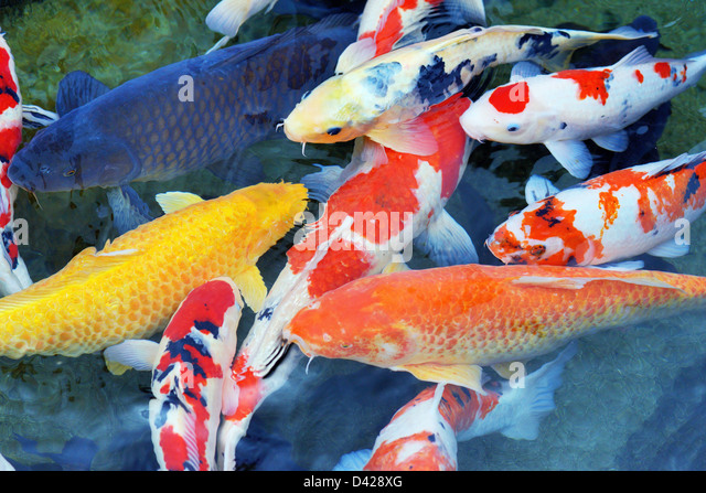 Several carp in a pond - Stock Image