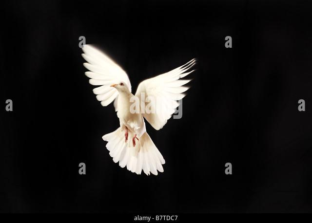 flying white dove isolated on black - Stock Image