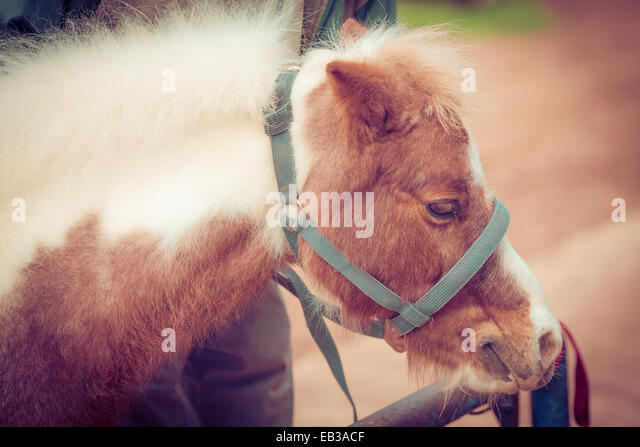 Portrait of a pony wearing a harness, Morocco - Stock Image