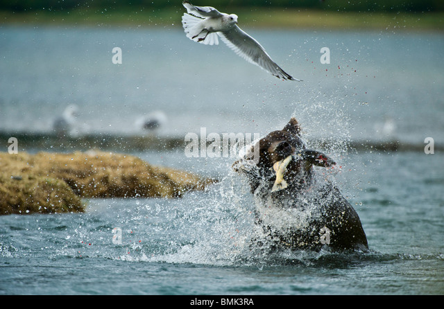 A coastal brown bear catches a salmon at Geographic Harbor, Katmai National Park, Alaska, USA - Stock Image
