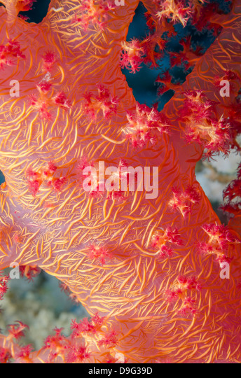 Pink Soft Broccoli coral, Macro of stem and branches, Ras Mohammed National Park, Sinai, Egypt, Red Sea, Egypt, - Stock Image