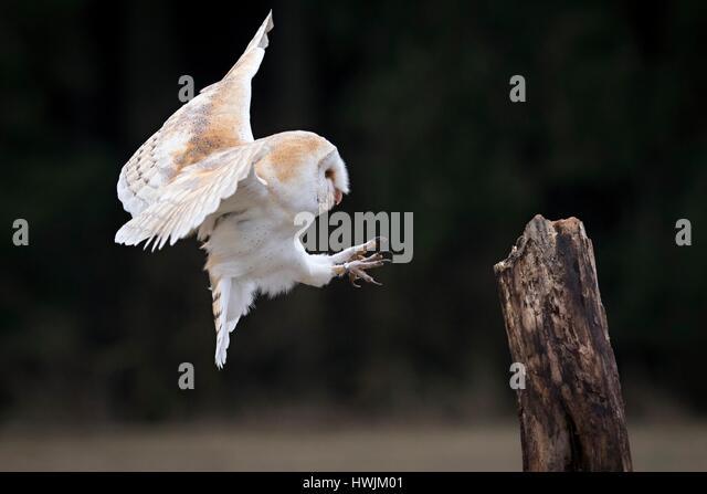 Barn owl - Stock-Bilder